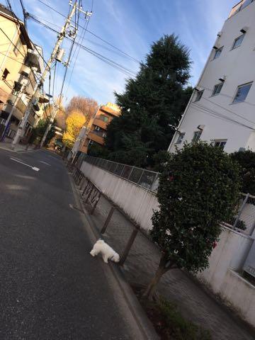 ビションフリーゼ子犬フントヒュッテこいぬ家族募集里親関東_2472.jpg