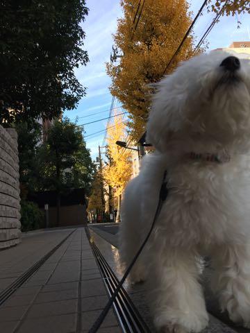 ビションフリーゼ子犬フントヒュッテこいぬ家族募集里親関東_2477.jpg