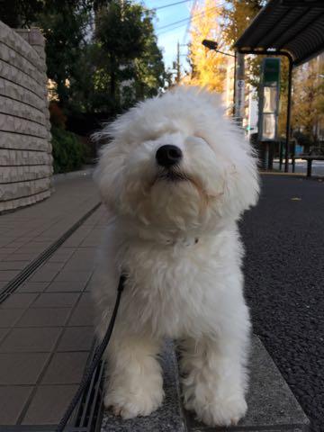 ビションフリーゼ子犬フントヒュッテこいぬ家族募集里親関東_2478.jpg