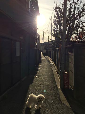 ビションフリーゼ子犬フントヒュッテこいぬ家族募集里親関東_2480.jpg