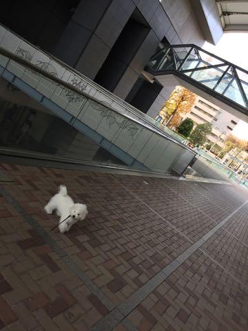 ビションフリーゼ子犬フントヒュッテこいぬ家族募集里親関東_2483.jpg