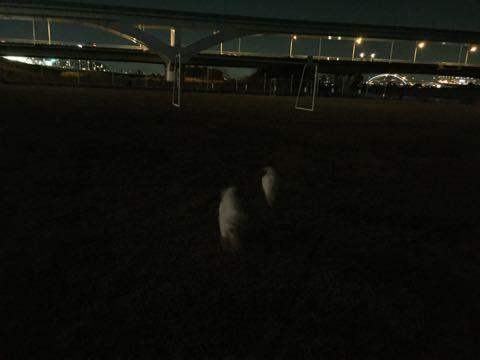 ビションフリーゼ子犬フントヒュッテこいぬ家族募集里親関東_2506.jpg