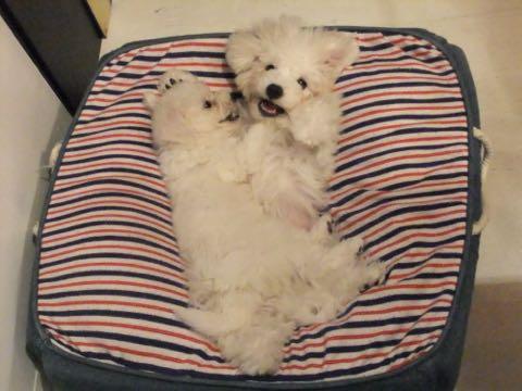 ビションフリーゼ子犬フントヒュッテこいぬ家族募集里親関東_1632.jpg