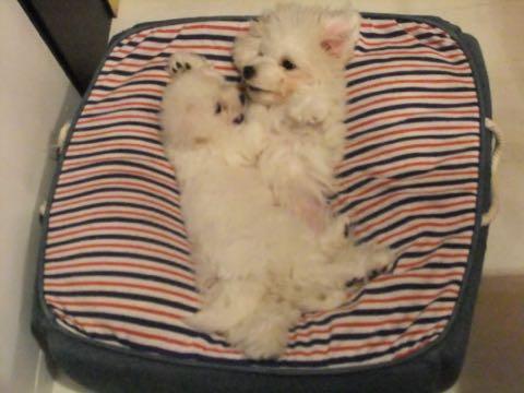 ビションフリーゼ子犬フントヒュッテこいぬ家族募集里親関東_1636.jpg