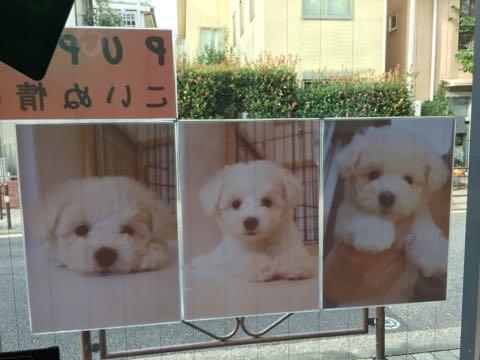 ビションフリーゼ子犬フントヒュッテこいぬ家族募集里親関東_1641.jpg