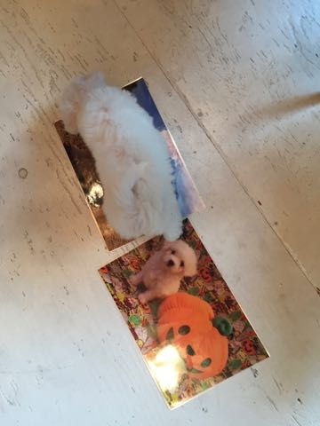 ビションフリーゼ子犬フントヒュッテこいぬ家族募集里親関東_1643.jpg