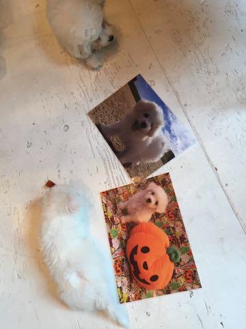 ビションフリーゼ子犬フントヒュッテこいぬ家族募集里親関東_1645.jpg