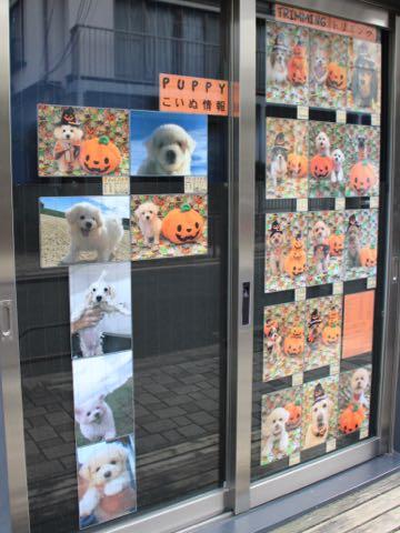 ビションフリーゼ子犬フントヒュッテこいぬ家族募集里親関東_1647.jpg