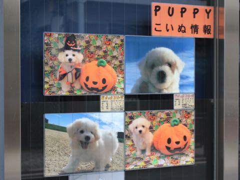 ビションフリーゼ子犬フントヒュッテこいぬ家族募集里親関東_1648.jpg