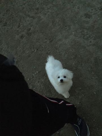 ビションフリーゼ子犬フントヒュッテこいぬ家族募集里親関東_2551.jpg