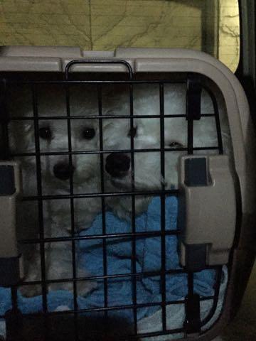 ビションフリーゼ子犬フントヒュッテこいぬ家族募集里親関東_2573.jpg