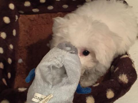 ビションフリーゼ子犬フントヒュッテこいぬ家族募集里親関東_2576.jpg