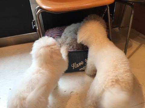 ビションフリーゼ子犬フントヒュッテこいぬ家族募集里親関東_2581.jpg