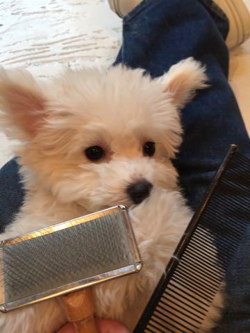 ビションフリーゼ子犬フントヒュッテこいぬ家族募集里親関東_2583.jpg