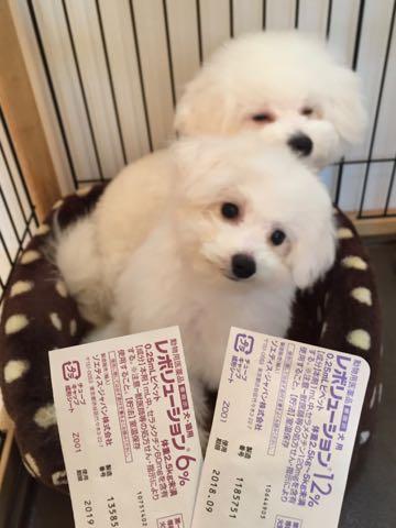 ビションフリーゼ子犬フントヒュッテこいぬ家族募集里親関東_2588.jpg