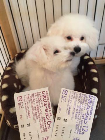 ビションフリーゼ子犬フントヒュッテこいぬ家族募集里親関東_2589.jpg