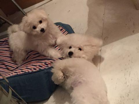 ビションフリーゼ子犬フントヒュッテこいぬ家族募集里親関東_2591.jpg
