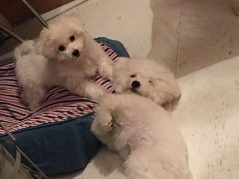 ビションフリーゼ子犬フントヒュッテこいぬ家族募集里親関東_2592.jpg