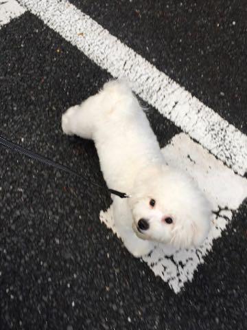 ビションフリーゼ子犬フントヒュッテこいぬ家族募集里親関東_2593.jpg