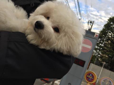 ビションフリーゼ子犬フントヒュッテこいぬ家族募集里親関東_2594.jpg