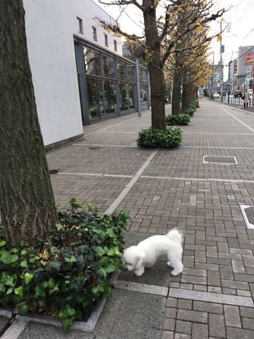 ビションフリーゼ子犬フントヒュッテこいぬ家族募集里親関東_2595.jpg