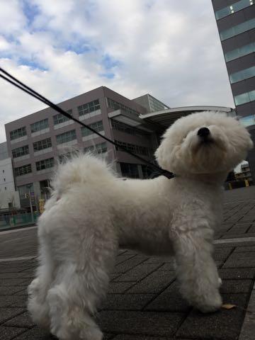 ビションフリーゼ子犬フントヒュッテこいぬ家族募集里親関東_2596.jpg