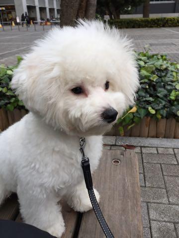 ビションフリーゼ子犬フントヒュッテこいぬ家族募集里親関東_2601.jpg