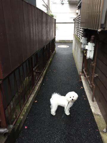 ビションフリーゼ子犬フントヒュッテこいぬ家族募集里親関東_2602.jpg