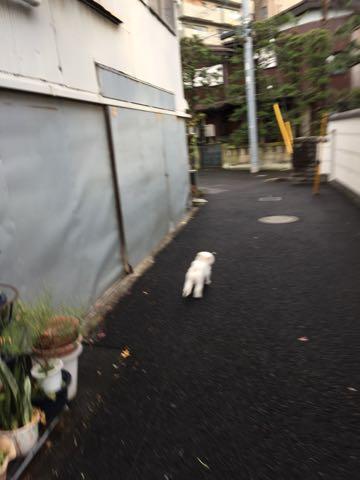 ビションフリーゼ子犬フントヒュッテこいぬ家族募集里親関東_2603.jpg
