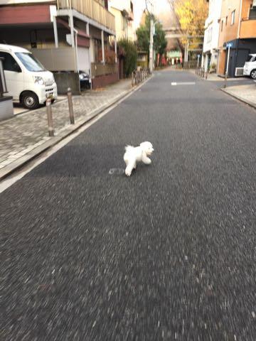ビションフリーゼ子犬フントヒュッテこいぬ家族募集里親関東_2604.jpg