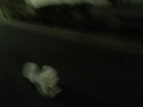 ビションフリーゼ子犬フントヒュッテこいぬ家族募集里親関東_2605.jpg