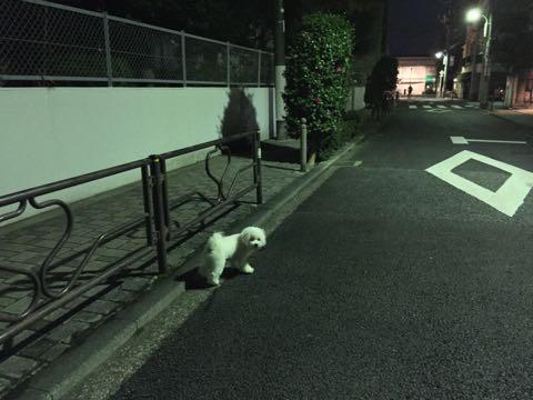 ビションフリーゼ子犬フントヒュッテこいぬ家族募集里親関東_2607.jpg
