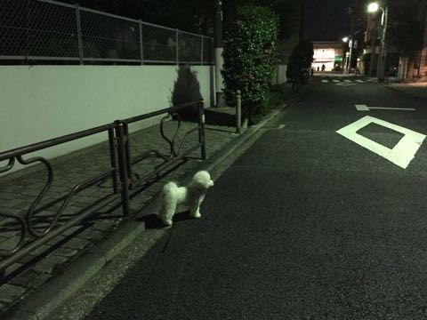 ビションフリーゼ子犬フントヒュッテこいぬ家族募集里親関東_2608.jpg