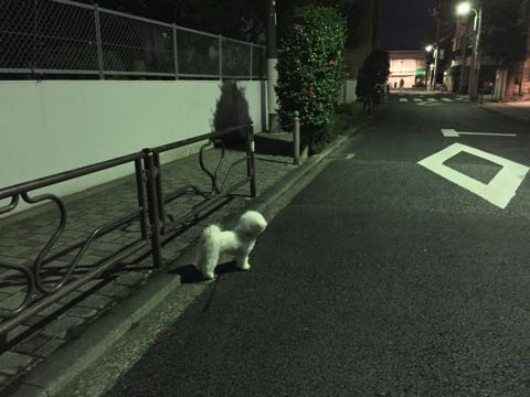 ビションフリーゼ子犬フントヒュッテこいぬ家族募集里親関東_2609.jpg