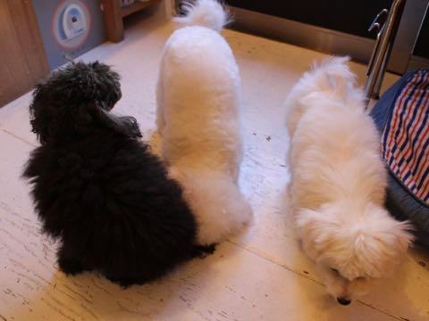 ビションフリーゼ子犬フントヒュッテこいぬ家族募集里親関東_2613.jpg