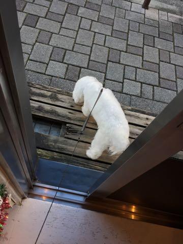 ビションフリーゼ子犬フントヒュッテこいぬ家族募集里親関東_2616.jpg