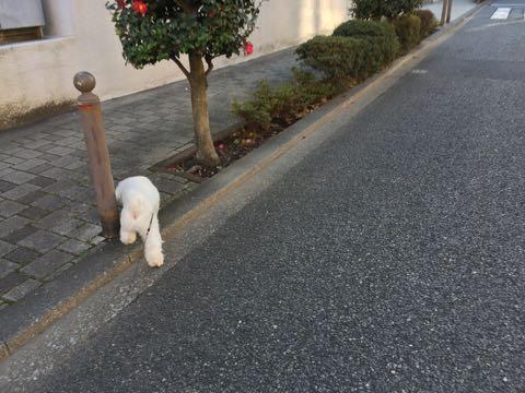 ビションフリーゼ子犬フントヒュッテこいぬ家族募集里親関東_2617.jpg