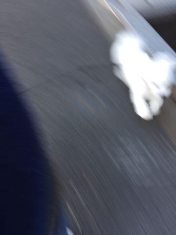ビションフリーゼ子犬フントヒュッテこいぬ家族募集里親関東_2619.jpg