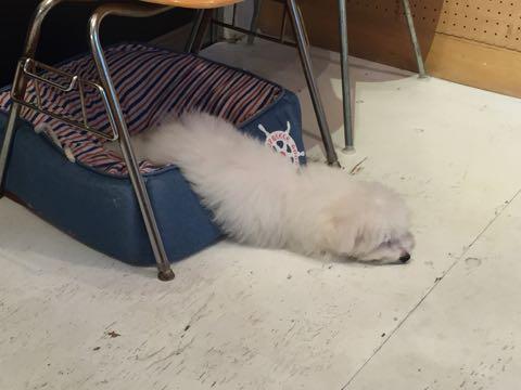 ビションフリーゼ子犬フントヒュッテこいぬ家族募集里親関東_2632.jpg