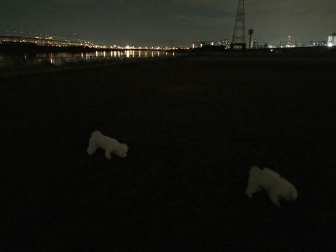 ビションフリーゼ子犬フントヒュッテこいぬ家族募集里親関東_2692.jpg