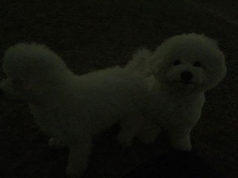 ビションフリーゼ子犬フントヒュッテこいぬ家族募集里親関東_2694.jpg