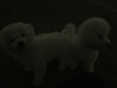 ビションフリーゼ子犬フントヒュッテこいぬ家族募集里親関東_2695.jpg
