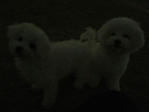 ビションフリーゼ子犬フントヒュッテこいぬ家族募集里親関東_2696.jpg