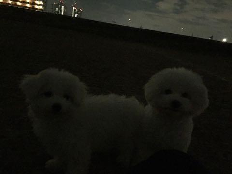 ビションフリーゼ子犬フントヒュッテこいぬ家族募集里親関東_2697.jpg