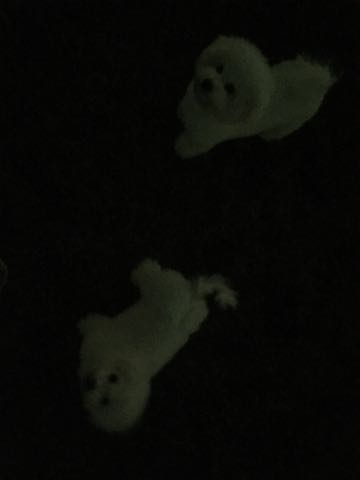 ビションフリーゼ子犬フントヒュッテこいぬ家族募集里親関東_2698.jpg