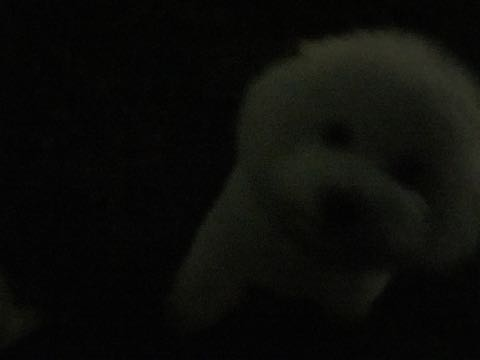 ビションフリーゼ子犬フントヒュッテこいぬ家族募集里親関東_2701.jpg