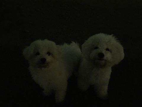 ビションフリーゼ子犬フントヒュッテこいぬ家族募集里親関東_2703.jpg