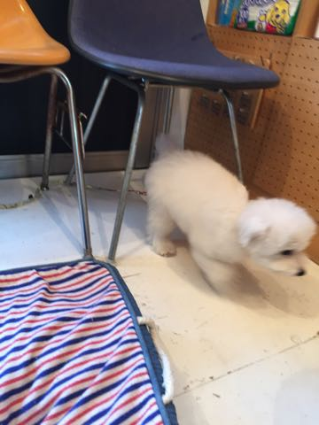 ビションフリーゼ子犬フントヒュッテこいぬ家族募集里親関東_2706.jpg