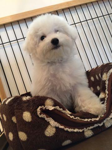 ビションフリーゼ子犬フントヒュッテこいぬ家族募集里親関東_2710.jpg