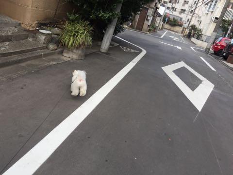 ビションフリーゼ子犬フントヒュッテこいぬ家族募集里親関東_2711.jpg
